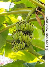 green banana on banana tree