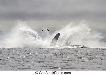 humpback whale leaped into the sea in a fountain spray