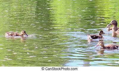 Ducks swim. Ekaterinburg, Russia.