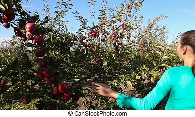 woman examines apple orchard with ripe fruit