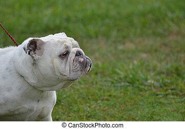 English Bulldog with a Smug Mug - English bulldog with a...