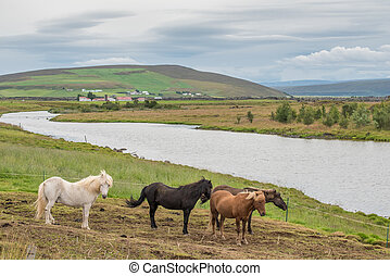 Icelandic horses at Adaldalur in the countryside south of...