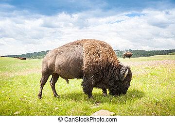 Big buffalo eating green grass - Buffalo eating green grass...