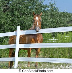 Horse Behind White Fence - Chestnut horse on a ranch or farm...