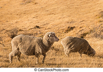 two merino sheep grazing on dry grass - closeup of two...