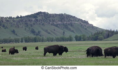 Two fighting buffaloes in a herd - Two fighting buffaloes in...