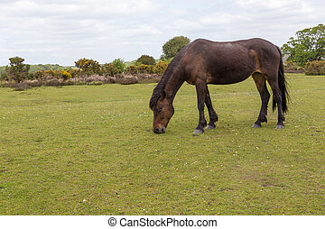 New Forest wild pony grazing on heathland