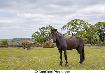 New Forest wild pony standing on heathland