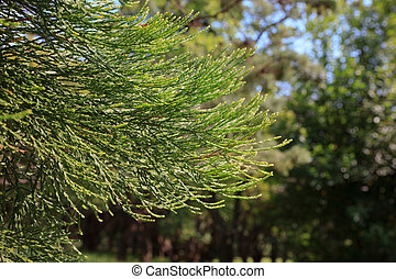 Branches of giant sequoia, Sequoia sempervirens commonly...