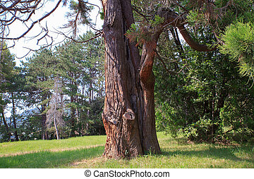 View of the giant sequoia, Sequoia sempervirens commonly...