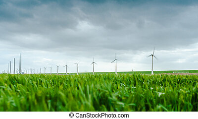 Young wheat blowing in the wind during a spring drum. a wind...
