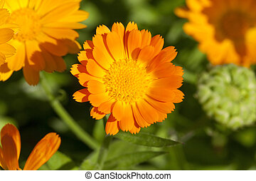 orange flowers of calendula - photographed close-up of...