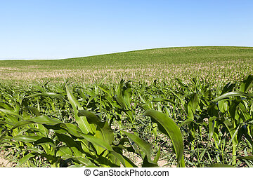 Field of green corn - agricultural field where maize is...