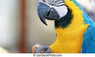 Blue and Yellow Macaw Cracking Walnut - Blue and Gold Macaw...