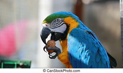 Blue and Yellow Macaw Eating Walnut - Blue and Yellow Macaw...