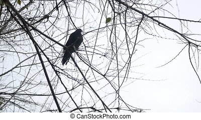 gray pigeon sitting on the branches without leaves in autumn...