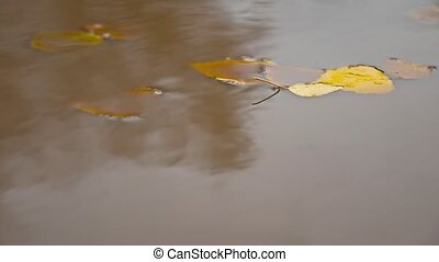 the rain in the fall in a puddle of yellow leaves nature...