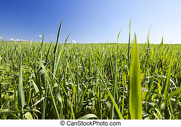 Field with cereal - Agricultural field on which grow...