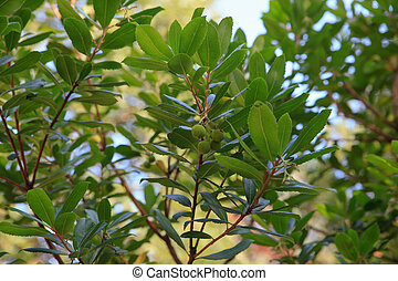 Arbutus unedo or strawberry tree is an evergreen shrub or...