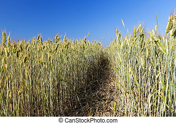 mature cereal, close-up - yellowed grass, which is almost...