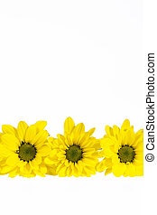 Flowers of yellow marguerite (Leucanthemum vulgare) on whie...