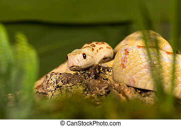 Albino snake - Beautiful specimen of an albino bullsnake...