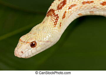 Closeup snake - Closeup of a beautiful specimen of an adult...
