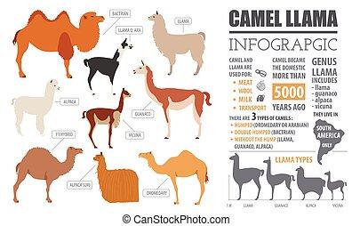 Camel, llama, guanaco, alpaca breeds infographic template....
