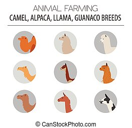 Camel, llama, guanaco, alpaca breeds icon set. Animal...