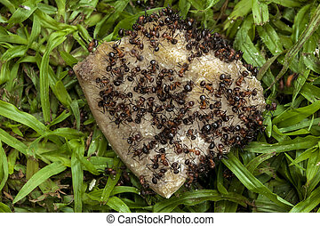 Swarm of Ants Eating Dicarded Dog Bone - Close up of swarm...