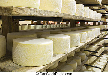 Rows of fermenting cheese - Artisan cheeses sheep em healing...