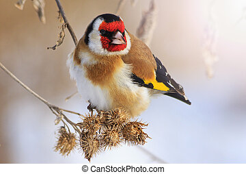 Goldfinch sitting on a burdock in winter sunny day with...