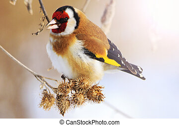 goldfinch and cold winter with sunny hotspot,colored bird in...