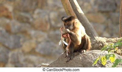 Capuchin monkey eating eating meat on stone