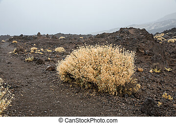Rosalillo de cumbre in the Teide National Park (Tenerife -...