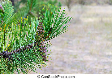 Pine branches with cones