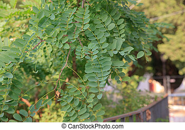 Leaves of Robinia, a genus of flowering plants in the family...
