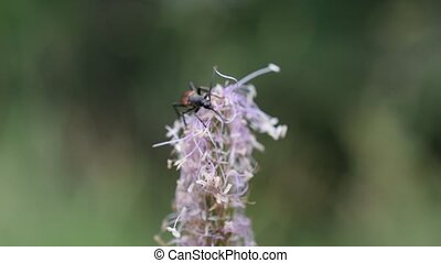 Longhorn brown beetle collects nectar from plantain flower...