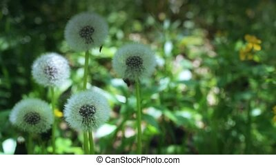 Fluffy dandelions in a meadow - Several fluffy dandelions in...