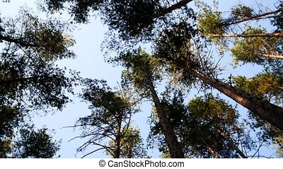 Pines in forest, view from down to top, wide angle