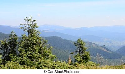 Fir trees on background of mountains - Fir trees and grass...