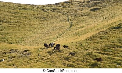 Herd of horses walk on pasture in mountains