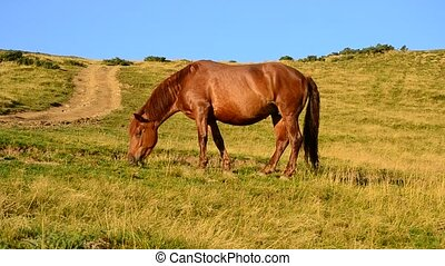 Brown horse grazing in a meadow - One brown horse grazing in...