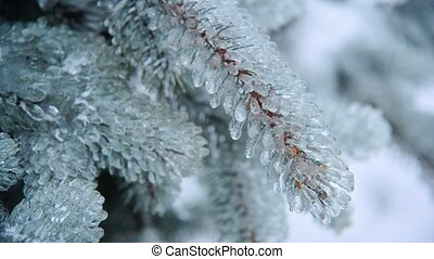 Ice-covered branch of blue spruce - Ice-covered branch of a...