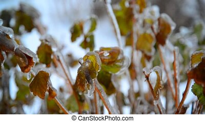 Shrub with leaves covered with ice after rain in winter -...