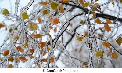 Birch leaves are covered with ice after rain in winter -...