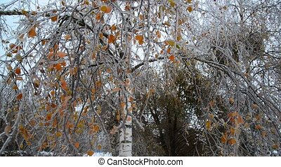 Birch are covered with ice after rain in winter - Birch are...