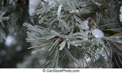 Ice-covered branch of pine - Ice-covered branch of a pine