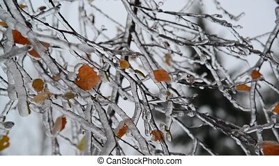 Birch leaves are covered with ice after rain in winter