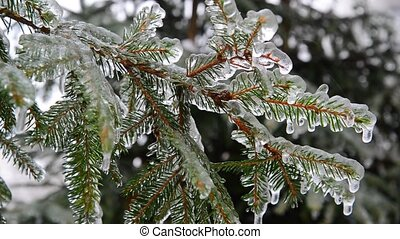 branches of spruce covered with ice after rain - The...